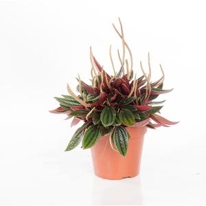 Peperomia rosso 221885
