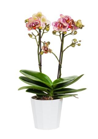 Phalaenopsis multi 2 branches avec cache pot 221938