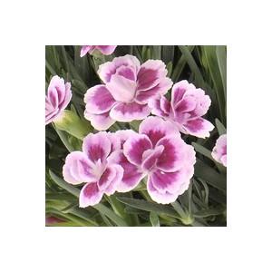 Dianthus Pink Kisses. Le pot de 10.5 cm 222078