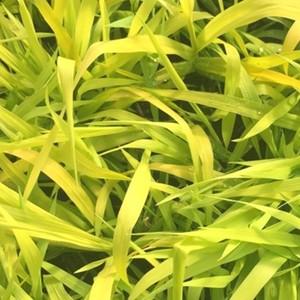 Phalaris Pure Gold. Le pot de 1 litre 222120