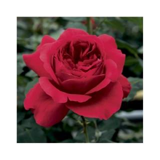 Rosier Ruban Rouge® (ROSIER RUBAN ROUGE ®) Le pot de 3 litres 222239