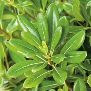 Pittosporum Tobira - pot 3 L 222248