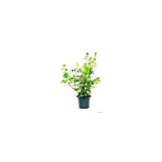 Erable champêtre en pot de 7 litres 222251