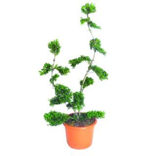 Ilex Crenata ou Houx vert Bonsaï 140 cm en pot de 24 L 222539