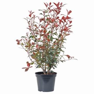 Photinia Serrulata Red Robin rouge LF45 cépée remontée 222550