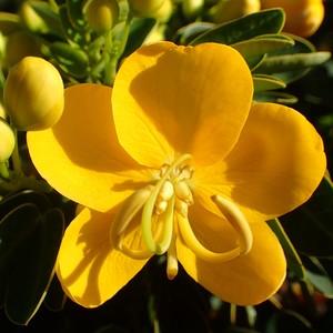 Cassia Dina jaune en pot de 3 L 230431
