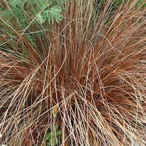 Laîche Carex Testacea en pot 230949