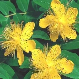 Hypericum Miracle Blossom en pot 230955