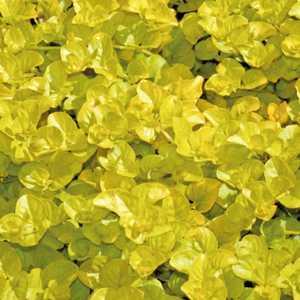 Lysimachia Nummularia Aurea. Le pot de 9 x 9 cm 231539