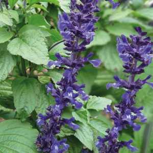 Sauge Mystic Bleue botanic® – Pot 9x9 231540