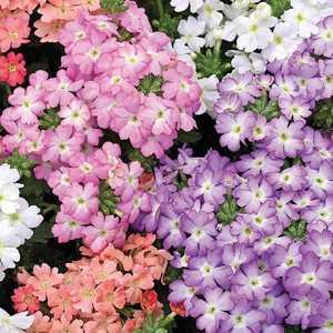 verveine retombante pastelle le pot de 9x9 cm plantes pour jardini res balcon terrasse botanic. Black Bedroom Furniture Sets. Home Design Ideas