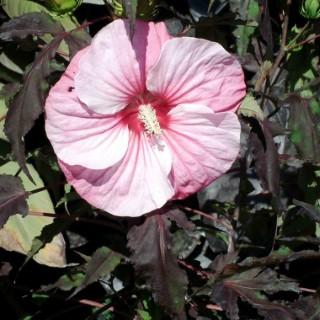 Hibiscus Moscheutos Pink Candy rose en pot de 4 L 232994