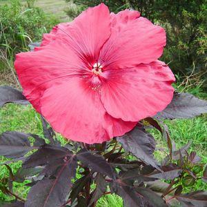 Hibiscus Moscheutos The red rouge en pot de 4 L 232996