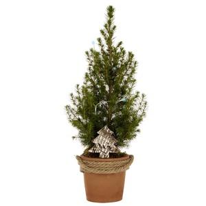 Picea conica pot terre cordé. Le pot 233211