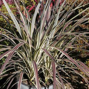 Cordyline Banksii Electric Flash multicolore en pot de 8 L 233434