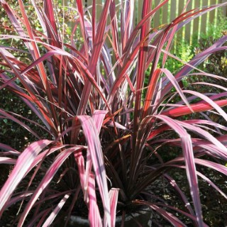 Cordyline Banksii Electric Pink rose en pot de 8 L 233436