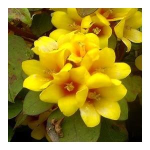 Lysimachia. Le pack de 6 plants 244901