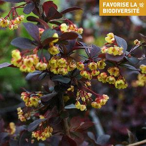 Berberis Ottawensis Superba – Pot de 3L 246468