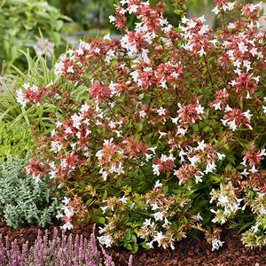 Abelia Grandiflora Sherwood en pot de 3 litres 246581