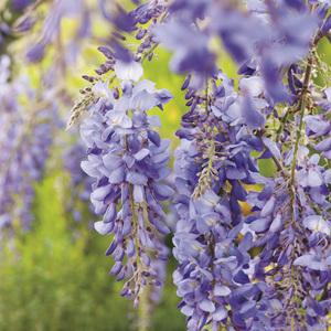 Glycine de Chine bleue (WISTERIA SINENSIS BLEUE) Le pot de 1,3 litres 250499