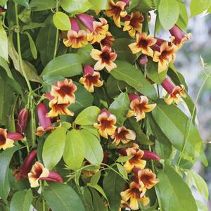 Bignonia Capreolata - Pot de 3L 250512