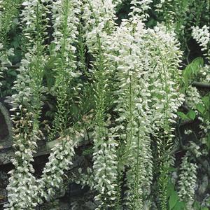 Glycine du Japon blanche (WISTERIA FLORIBUNDA ALBA) Le pot de 3 litres 100% recyclé 250533