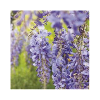 Glycine de Chine bleue (WISTERIA SINENSIS BLEU) Le pot de 3 litres 100% recyclé 250536