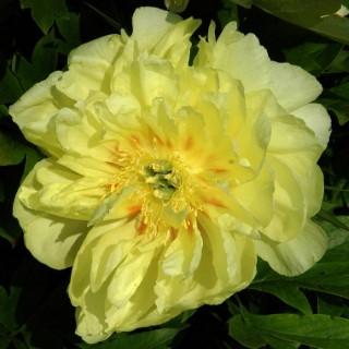 Paeonia Itoh 'Julia Rose'. Le pot de 5 litres 252543