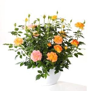 Composition de rosiers miniatures. La coupe 252845