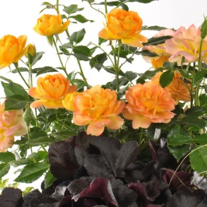 Composition de rosiers miniatures. Le pot de 5 litres 252847