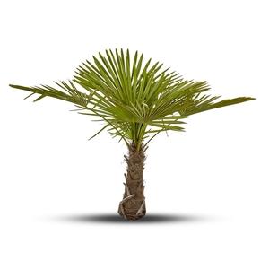 Chamaerops Excelsa vert 1 tronc en pot de 55 L 253005