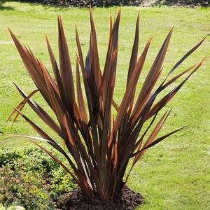 Phormium Tenax Atropurpureum - pot 35 L 253096