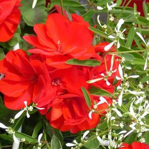 Géranium zonale + euphorbes blanche. La jardinière de 50 cm 253524