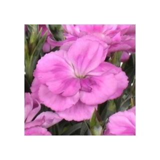 Œillet Peman Odorant. La jardinière de 25 cm 253688