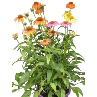 Rudbeckia vivace multicolore en coupe Ø 25 cm 253933
