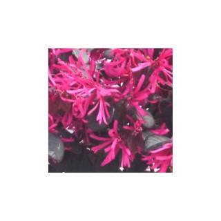 Loropetalum Buisson. Le pot de 1 litre 255443