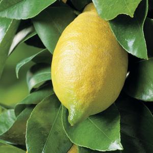 Citronnier 4 Saisons bio. Le pot de 3 litres 255474