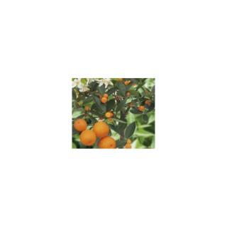 Kumquat De Hong Kong bio. Le pot de 3 litres 255479
