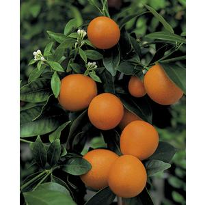 Kumquat Obowata en pot de 3 L Bio 255480