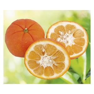 Oranger Amer Salicifolia en pot de 3 L Bio 255483