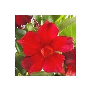 Dipladenia Jade Scarlet botanic® – Pot 9x9 255586