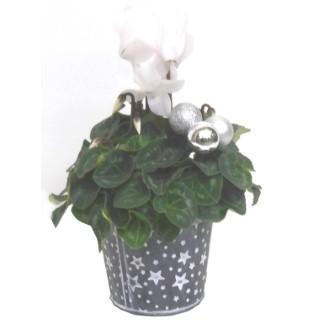 Mini cyclamen feuillage décoratif. Pot déco noir 256027