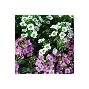 Alysse odorante. Le pack de 6 plants 257336