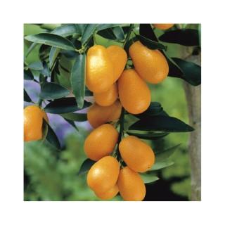 Kumquat bio Le pot de 3 litres 257646