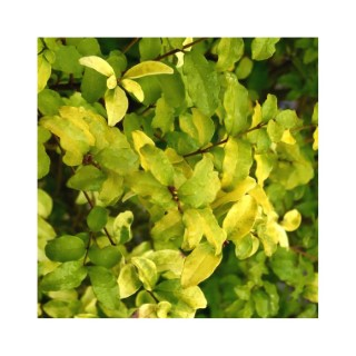Troène Ligustrum Ovalifolium Lemon & Lime jaune en pot 257731