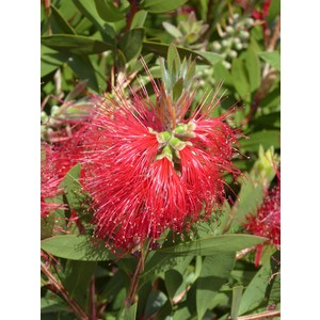 Callistemon Vimimalis Red Star en pot 257733