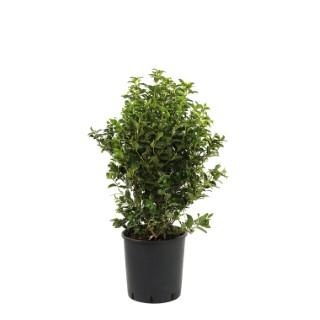 Viburnum Tinus Lisa Rose ® - Pot de 3L 257753