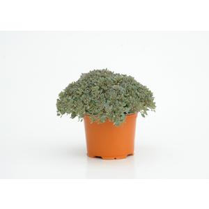 Sedum Painted Pebble. Le pot diam 12 cm 257811