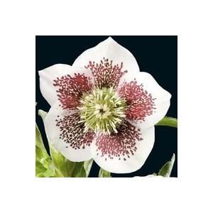 Helleborus Single White Blotched. Le pot de 1 litre 257853