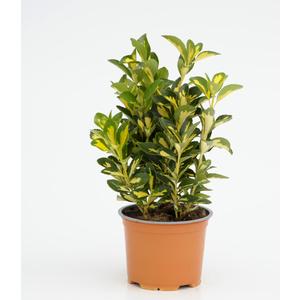 Euonymus Japonicus Aureus. Le pot diam 12 cm 257875